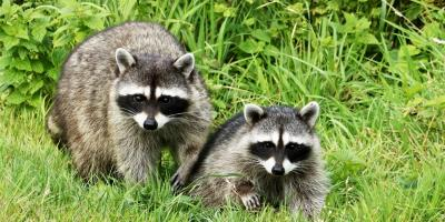 How to Keep Raccoons Off Your Property, ,