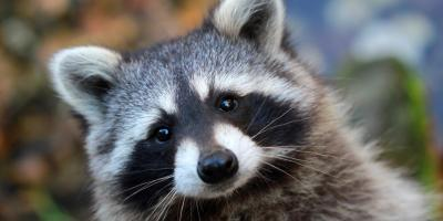 3 Common Ways a Raccoon Can Get Into Your Home, New Milford, Connecticut