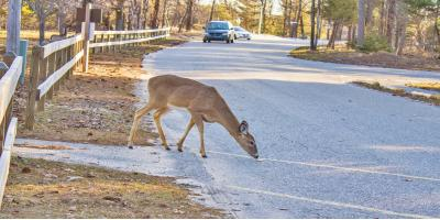 What You Need to Know About Deer & Auto Collisions, Greenfield, Minnesota