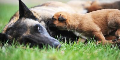 4 FAQ About Dog Pregnancies, Ewa, Hawaii