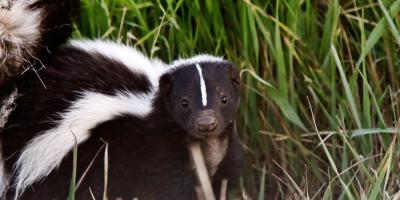 What You Should Do If You Encounter a Skunk, Miami, Ohio