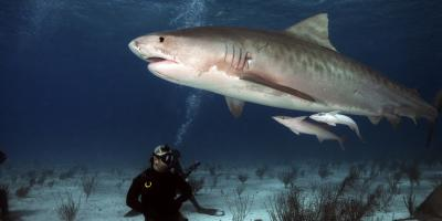 4 Surprising Facts About Tiger Sharks, Honolulu, Hawaii