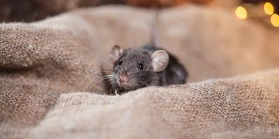 Why Rodent Control Should Be Left to Professionals, Wahiawa, Hawaii