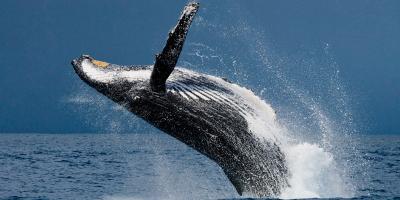 3 Reasons to Book an Alaskan Whale Watching Tour, Juneau, Alaska