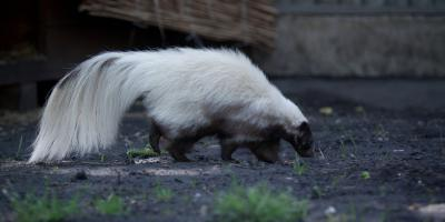 What to Do When There's a Skunk on Your Property, North Hobbs, New Mexico