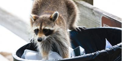 3 Ways to Keep Racoons Away from Your House, Dayton, Ohio