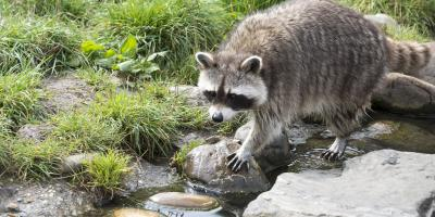 How To Attract Raccoons In Your Backyard - House of Things ...