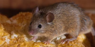 3 Telltale Signs You Have Mice in Your Home, New Milford, Connecticut