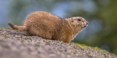 A Guide to Rodents that Live in New Mexico, North Hobbs, New Mexico