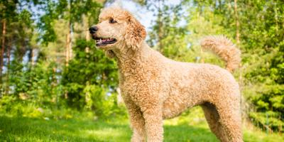 Highland Heights Dog Grooming Experts Share 4 Hypoallergenic Breeds, Newport-Fort Thomas, Kentucky