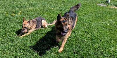 Dog Training 101: Crate Training Large Breeds, Walworth, New York