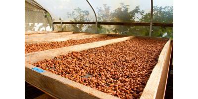 Can Hawaiian Chocolate Make You Smarter? Scientists Weigh In, Honolulu, Hawaii