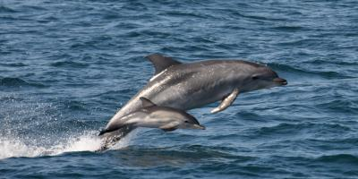 3 Dolphin Species Found in Hawaii, Waianae, Hawaii