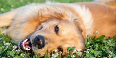 Why Dogs Enjoy Rolling in the Grass, Elizabethtown, Kentucky