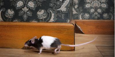 How a Small House Mouse Causes Major Property Damage, Port Orchard, Washington