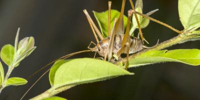 Exterminator Provides Guide to Camel Crickets, Brookhaven, New York