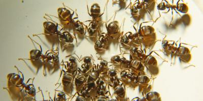 Can an exterminator get rid of fir ants in my daughters bed?, Mobile, Alabama