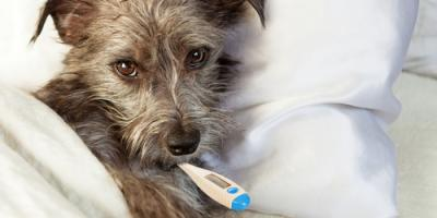 What Are the Signs of Canine Influenza?, Florence, Kentucky