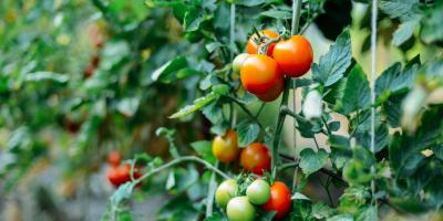3 Vegetables That Thrive With Hydroponic Gardening, Pueblo, Colorado