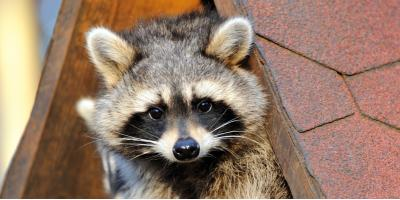 Top 3 Ways Humane Animal Control Keeps Pests Out of Your Attic, New Milford, Connecticut