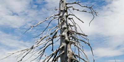5 Signs of a Dying Tree, Marshan, Minnesota