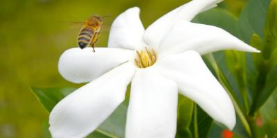 The Legend of the Tahitian Tiare Flower, Honolulu, Hawaii