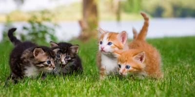 Why Veterinarians Recommend Playing With Your Cat, Hilo, Hawaii