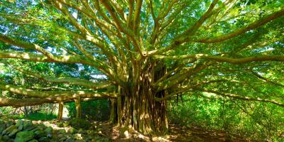 An Intro to Hawaii's Banyan Trees, Hilo, Hawaii