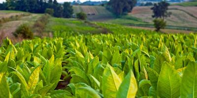 3 Factors That Determine Tobacco Quality, Bremerton, Washington