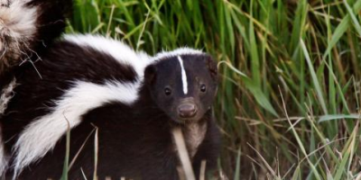 3 Steps for Dealing With a Skunk in Your Yard, North Hobbs, New Mexico