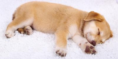 4 Essential Carpet Cleaning Tips for Pet Owners, Honolulu, Hawaii