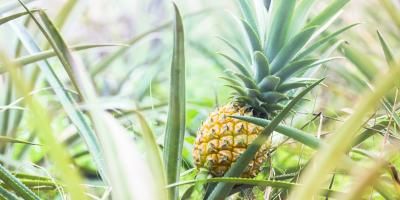 5 Tropical Fruits You'll Find in Hawaii, Kahuku, Hawaii