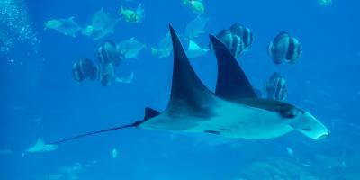 5 Fun Facts About the Rays of Hawaii, Ewa, Hawaii