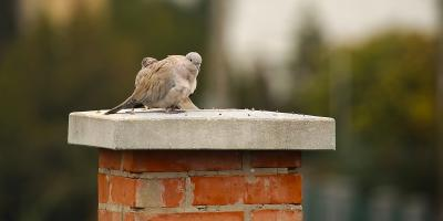 How to Handle Birds in Your Chimney, Kernersville, North Carolina