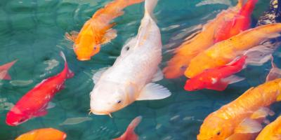 How to Prepare Your Koi Pond for the Winter, Columbia, Missouri