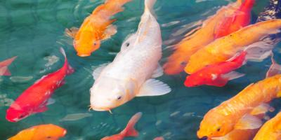 4 Fun Facts About Koi Fish, Columbia, Missouri