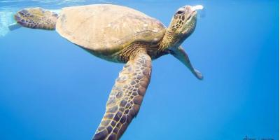 5 Intriguing Facts About Sea Turtles, Lahaina, Hawaii