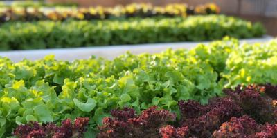 Get Hydroponic Lettuce at Kahuku's Favorite Fresh Farm Restaurant, Kahuku, Hawaii