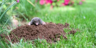 Exterminators Share 3 Signs of Mole Infestation, Dayton, Ohio