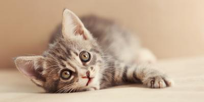 What to Do In the First Few Weeks With a Kitten, Montgomery, New York