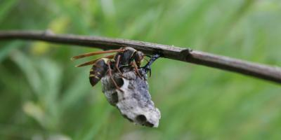 How Are Hornets & Wasps Different?, Linden, Texas