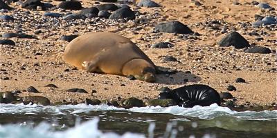 What to Know About the Endangered Hawaiian Monk Seal, Kekaha-Waimea, Hawaii
