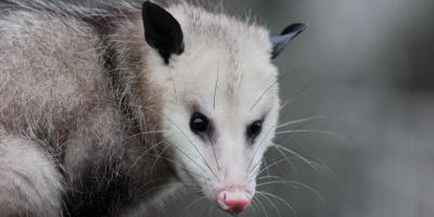 What to Know About Opossums on Your Property, New Braunfels, Texas