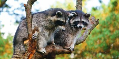 4 Diseases That Are Transmitted by Raccoons, New Milford, Connecticut