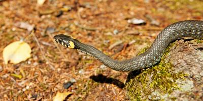 4 Wildlife Removal Tips for Snakes, New Milford, Connecticut