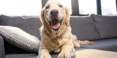 What You Should Know About COVID-19 in Dogs, O'Fallon, Missouri