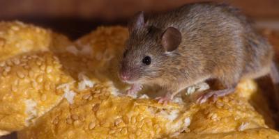 Lancaster Pest Control Expert Explains 3 Differences Between Rat & Mouse Infestations, Lancaster, Kentucky