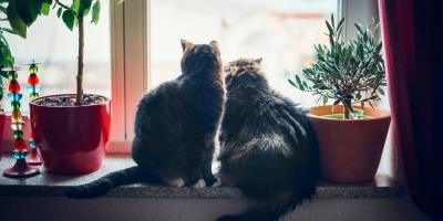 3 Tips to Introduce a Second Cat Into the Home, Columbia, Missouri
