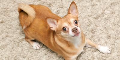 3 Reasons You Need a Professional Carpet Cleaner for Pet Deodorizing, Sharpsville, Indiana