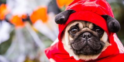 Should Dogs Be Dressed Up for Halloween?, Honolulu, Hawaii